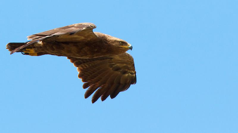 Aigle pomarin, Lesser Spotted Eagle, Clanga pomarina