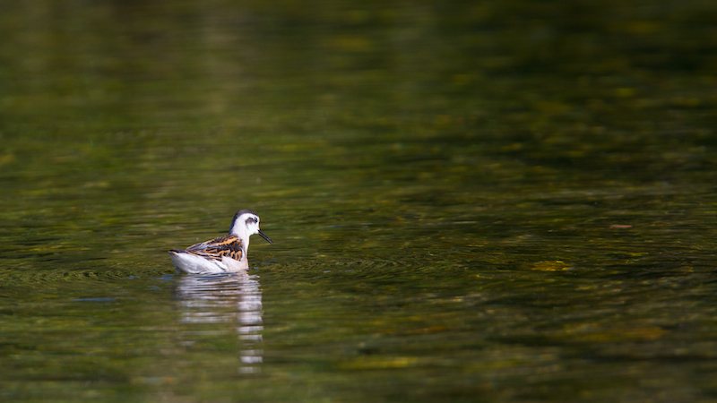 Phalarope a bec etroit juvenile – Canon EOS 7D – 420 mm – f/5,6 – 1/640s – 250 ISO