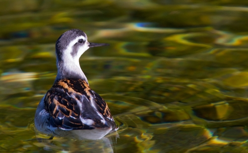 Phalarope a bec etroit – Canon EOS 7D – 420 mm – f/5,6 – 1/640s – 400 ISO
