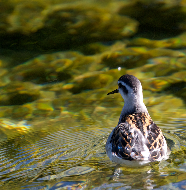 Phalarope a bec etroit juvenile – Canon EOS 7D – 420 mm – f/5,6 – 1/800s – 320 ISO