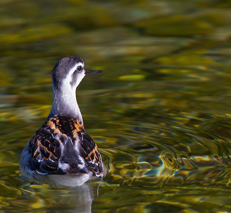 Phalarope a bec etroit juvenile – Canon EOS 7D – 420 mm – f/5,6 – 1/640s – 400 ISO