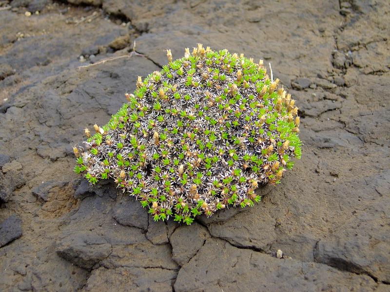 Flore en péril - Islande