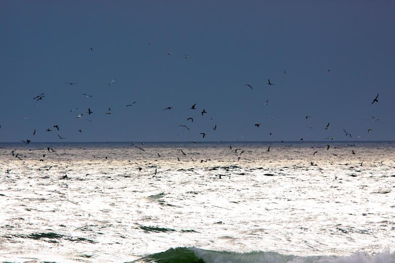 Fous de bassan en pêche, Tréguennec - Canon EOS 50D – 420 mm – f/9,0 – 1/400s – 200 ISO