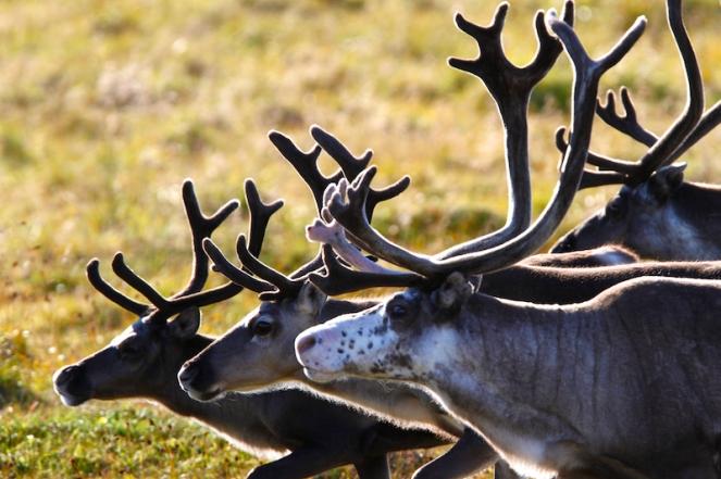 Renne Laponie horde sauvage