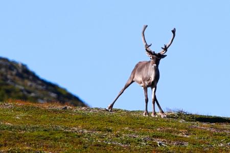 Renne Laponie petit coin