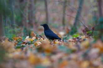 corneille noire+corvue corone+carrion crow+Sceaux+parc+feuilles mortes+nature+automne