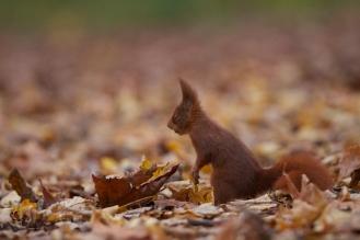 Ecureuil roux+sciurus vulgaris+european red squirrel+parc+Sceaux+Paris+nature+feuilles mortes+punk+automne
