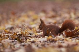 Ecureuil roux+sciurus vulgaris+european red squirrel+parcSceaux+Paris+nature