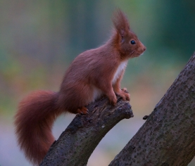 Ecureuil roux+sciurus vulgaris+european red squirrel+parc+Sceaux+Paris+nature