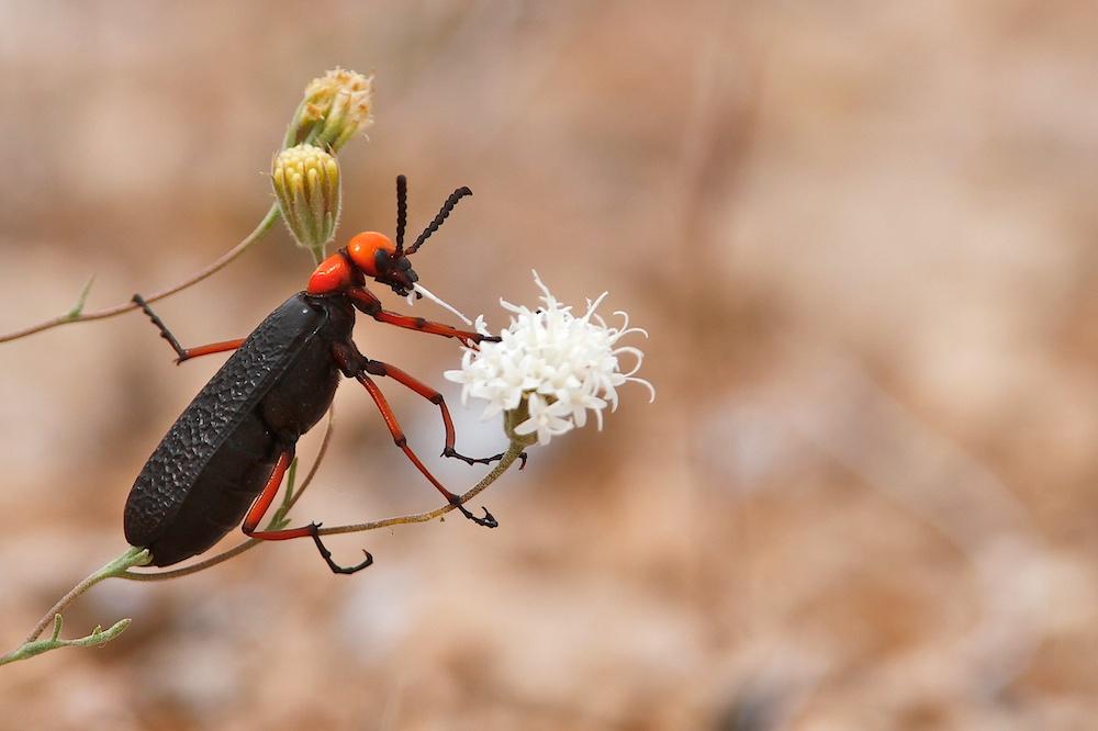 Desert blister beetle (Lytta magister) dévorant un pique-aiguilles (Pincushion, Chaenactis), Valley of Fire State Park, Névada