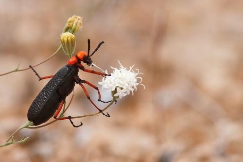 Desert blister beetle (Lytta magister) dévorant un pique-aguilles (Pincushion, Chaenactis), Valley of Fire State Park, Névada