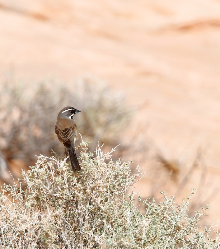 Bruant à gorge noire (Black-throated sparrow, Amphispiza bilineata), Valley of Fire State Park, Névada