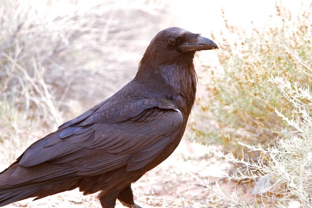 Grand corbeau (Common Raven, Corvus corax)