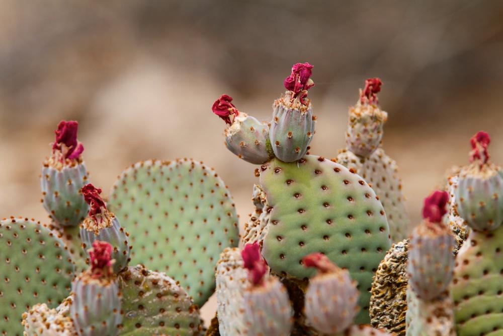 Beavertail Cactus (Opuntia basilaris), Valley of Fire State Park, Névada