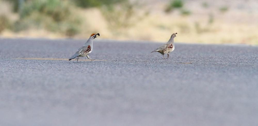 Colin de Gambel (Gambel's quail, Callipepla gambelii), mâle et femelle adultes, Moapa Valley, Névada