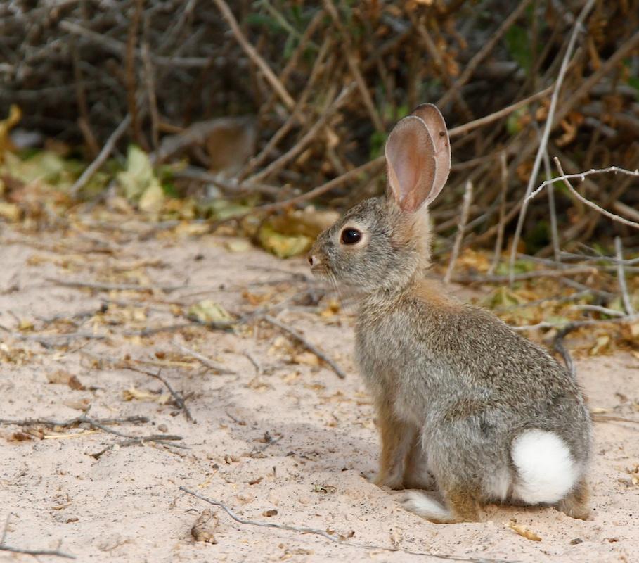 Lapin d'Audubon (Desert cottontail, Sylvilagus audubonii), Moapa Valley, Névada