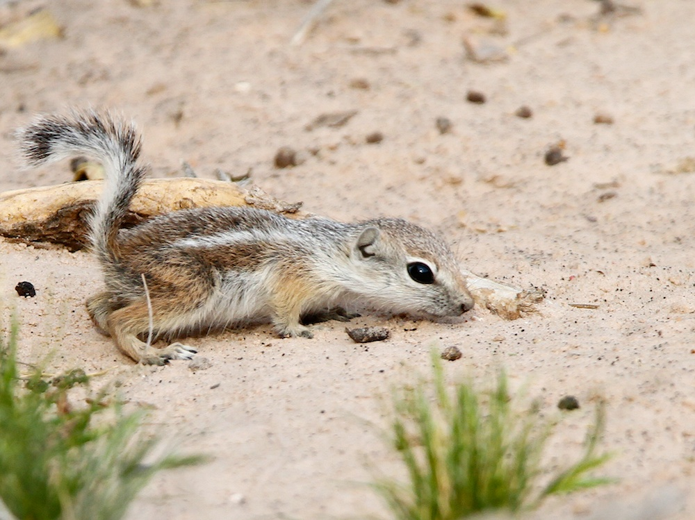 Antelope ground squirrel (Ammospermophilus)