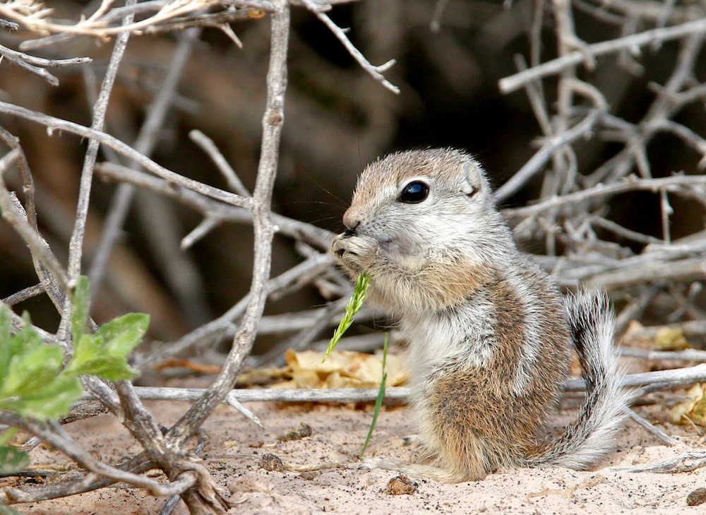 Ecureuil-antilope (Antelope ground squirrel, Ammospermophilus), Moapa Valley, Névada