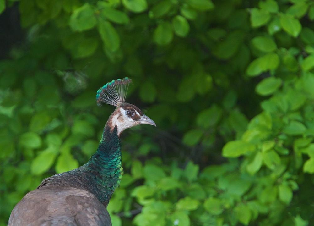 Paon bleu (Common peafowl, Pavo cristatus), femelle adulte, Moapa Valley, Névada