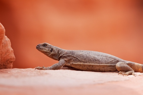 Common Chuckwalla (Sauromalus ater), Valley of Fire State Park, Névada