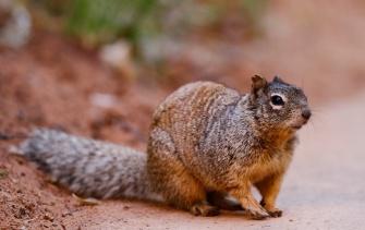Ecureuil des rochers