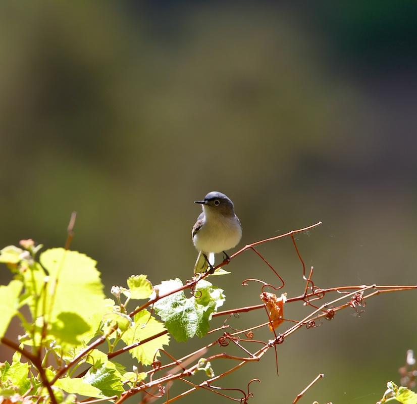 Gobemoucheron gris-bleu (Blue-gray gnatcatcher, Polioptila caerulea) - Zion National Park - Utah
