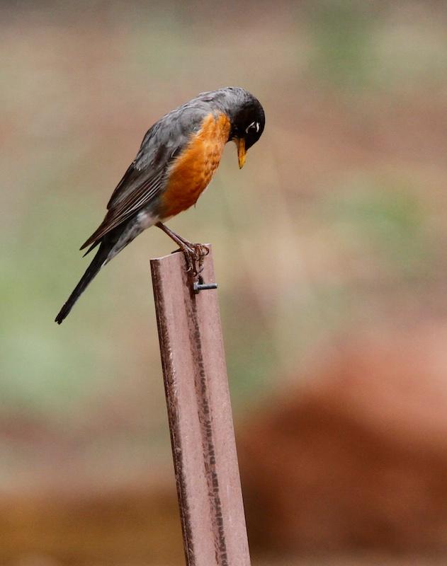 Merle d Amérique (American robin, Turdus migratorius)