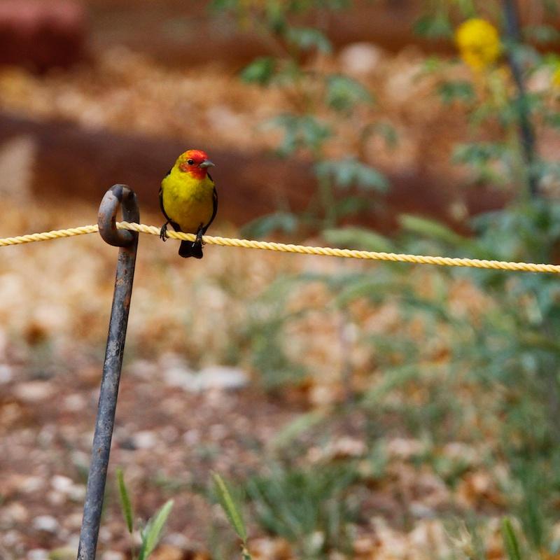 Tangara a tete rouge (Western tanager, Piranga ludoviciana)