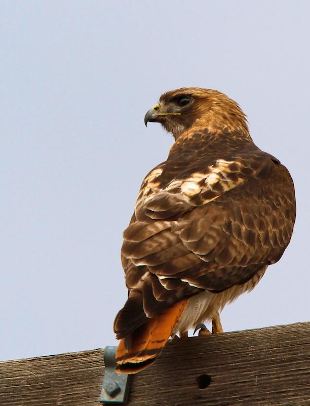 Buse à queue rousse (Red-tailed hawk, Buteo jamaicensis) - Grafton - Utah