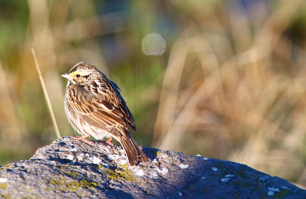 Bruant a gorge blanche+White-throated sparrow+Zonotrichia albicollis+Yellowstone wildlife
