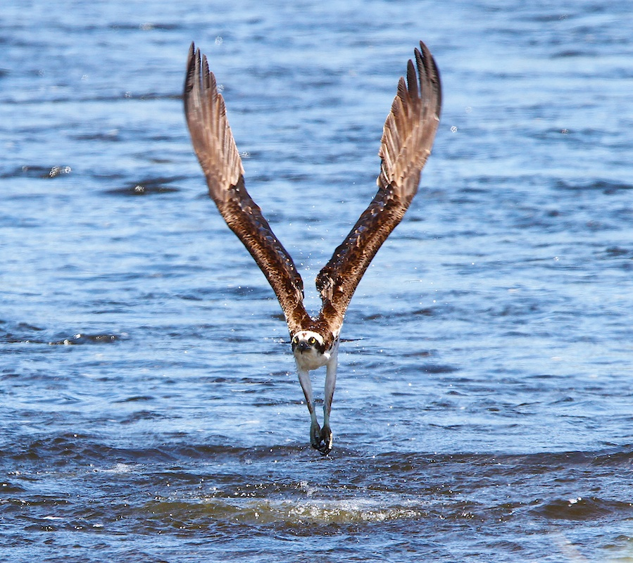 Balbuzard pecheur+Western Osprey+Pandion haliaetus+Yellowstone Wildlife