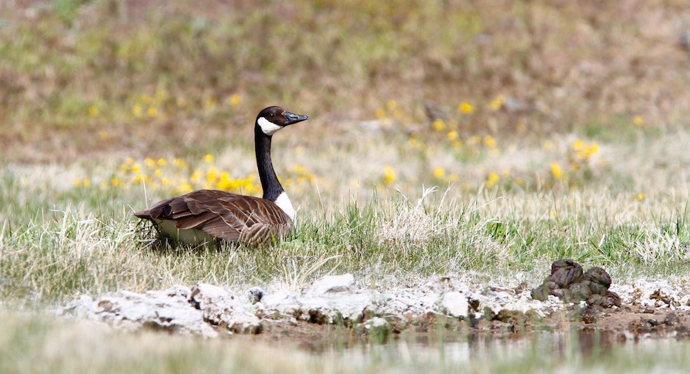 Bernache du Canada+Canada Goose+Branta canadensis+Yellowstone Wildlife
