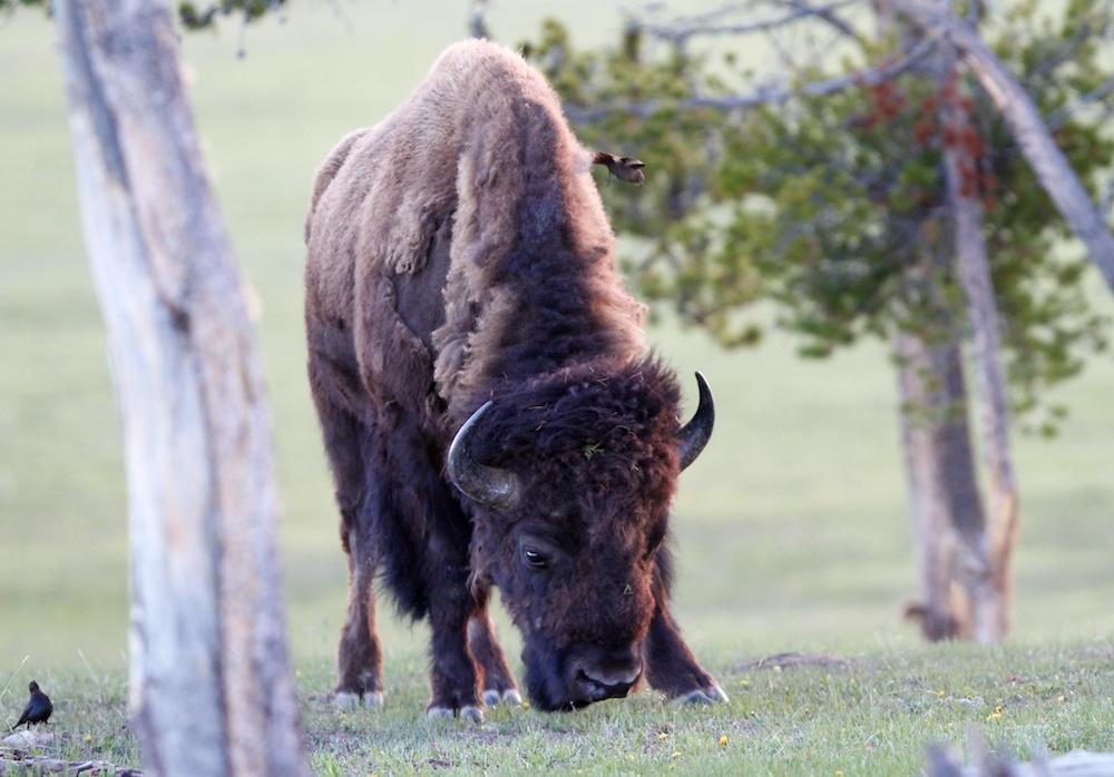 Bison+Yellowstone wildlife+Wyoming