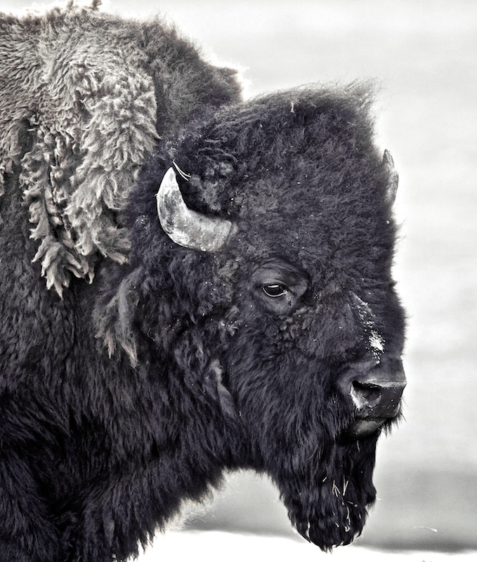 Bison, animaux, Yellowstone, Wyoming