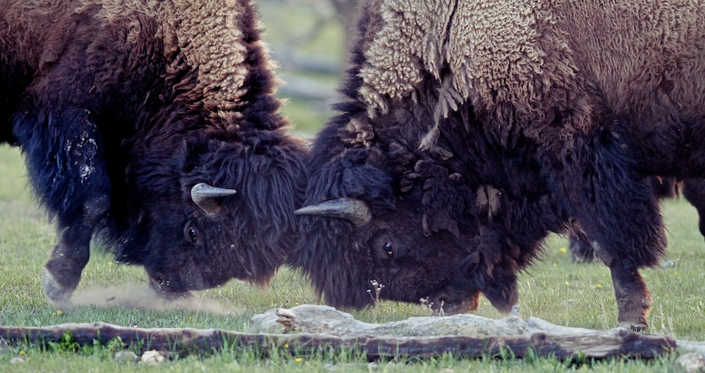 Bison d'Amerique du Nord+American buffalo+Bison bison+Yellowstone Wildlife+Wyoming