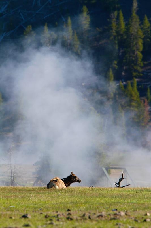 Wapiti boucané, Yellowstone National Park, Wyoming