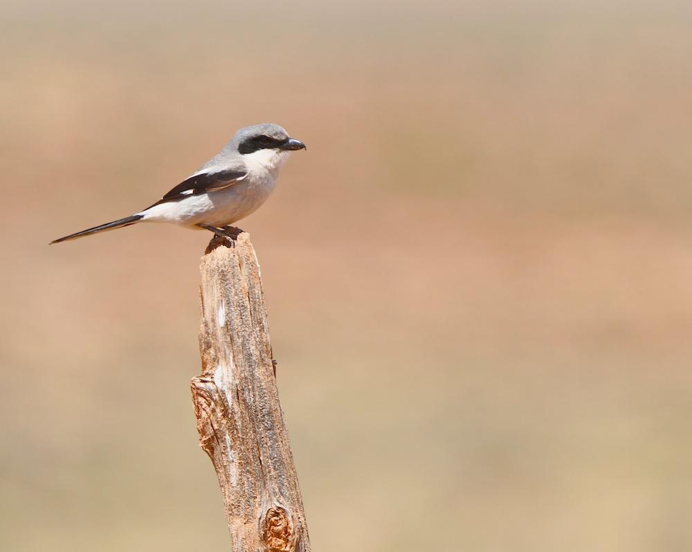 Pie-grièche migratrice (Loggerhead shrike, Lanius ludovicianus)