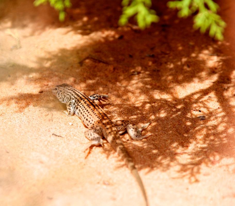 Western whiptail (Aspidoscelis tigris) - Coyote Buttes North - Arizona