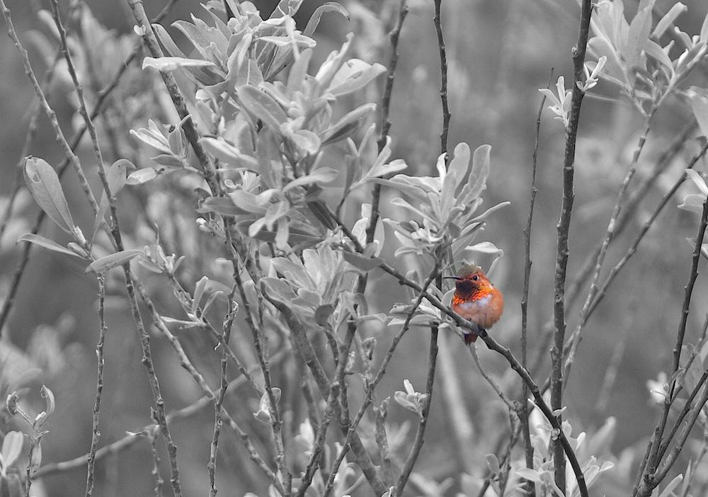 Colibri d'Allen (Allen's hummingbird, Selasphorus sasin)