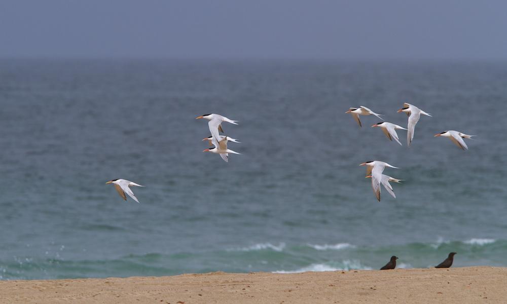 Vol de sternes caspiennes (Caspian tern, Hydroprogne caspia) et élégantes (Elegant tern, Sterna elegans)