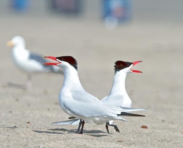 Sternes caspiennes (Caspian tern, Hydroprogne caspia)
