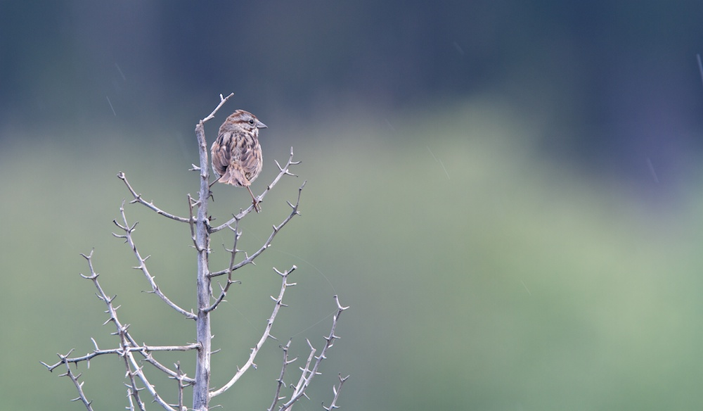 Bruant chanteur (Song sparrow, Melospiza melodia)