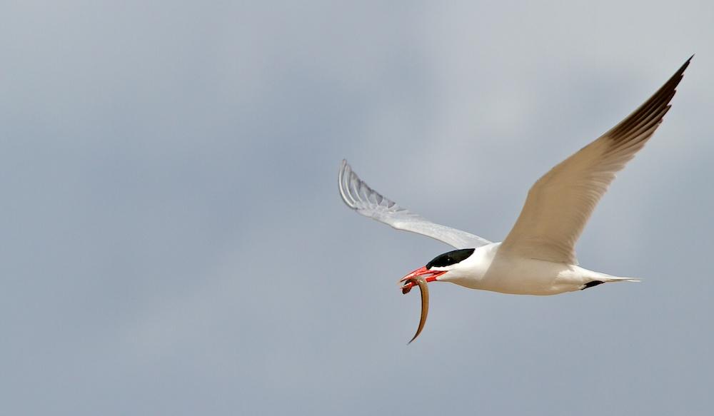 Retour de pêche, Sterne caspienne (Caspian tern, Hydroprogne caspia)