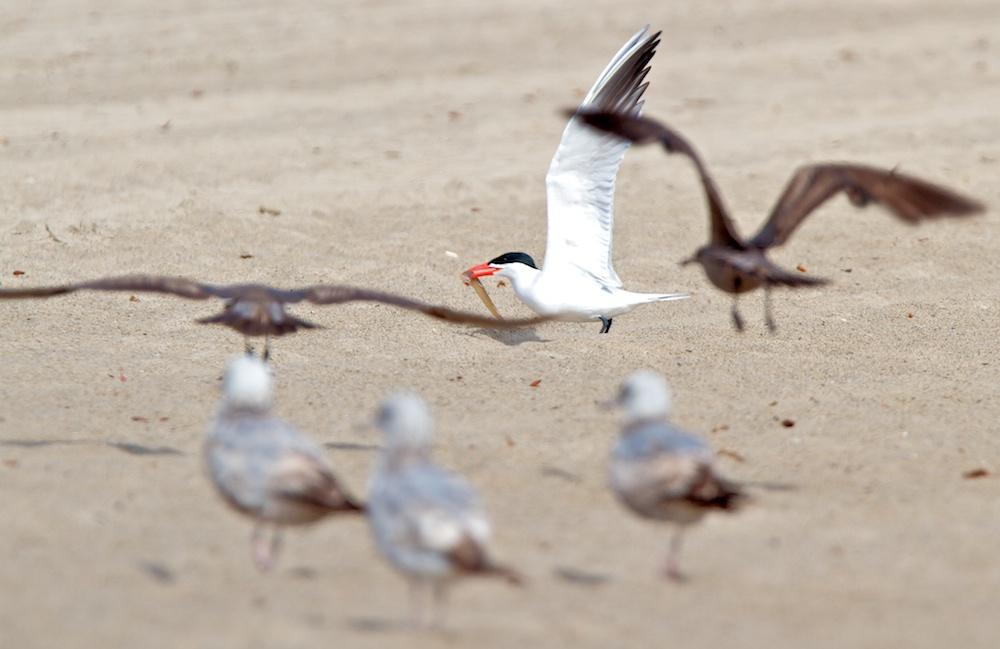 Harcèlement, Sterne caspienne (Caspian tern, Hydroprogne caspia) vs Goélands de Heermann (Heermann's gull, Larus heermanni)