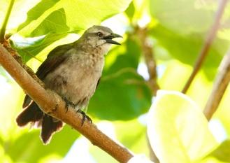 Quiscale merle, Carib Grackle, Quiscalus lugubris, Martinique
