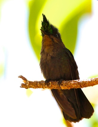 Colibri huppé, Antillean Crested Hummingbird, Orthorhyncus cristatus, Anse trabaud, Martinique, faune, oiseaux