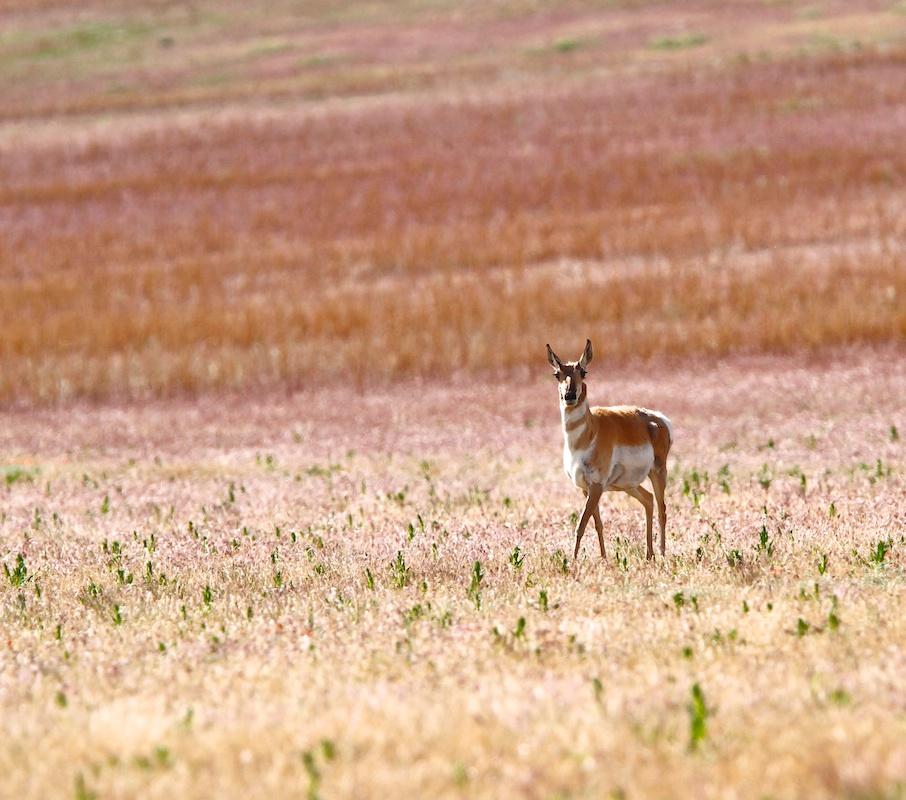 Antilope d'Amerique+Pronghorn+Antilocapra americana+Antelope Island+Utah