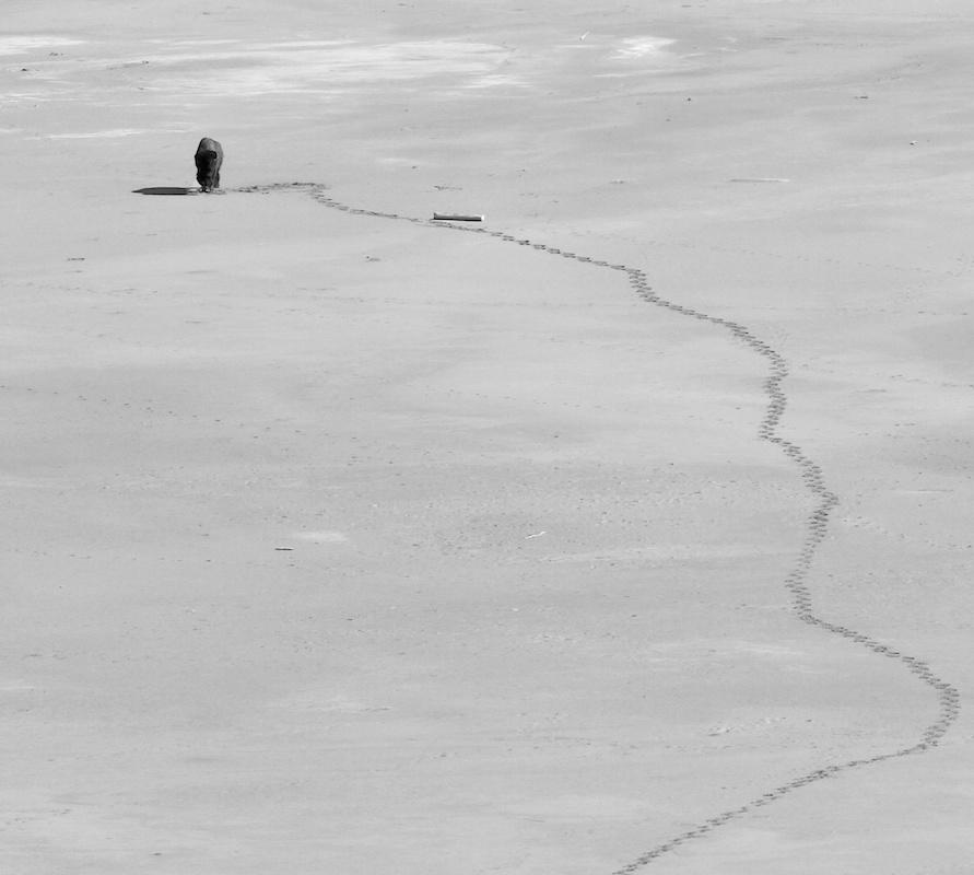 Bison+Buffalo+trace+White Rock Bay+Antelope Island+Utah