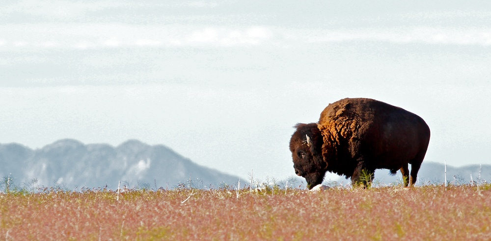 Bison d'Amerique du Nord+American buffalo+Bison bison+Antelope Island+Utah