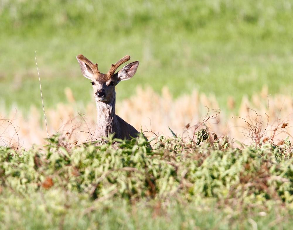Cerf hemione+Mule deer+docoileus hemionus+Antelope Island State Park+Utah